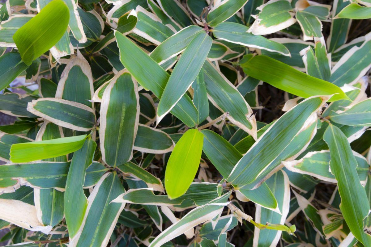 オラクル化粧品の成分は自社農園の植物エッセンス配合クマザサエキス