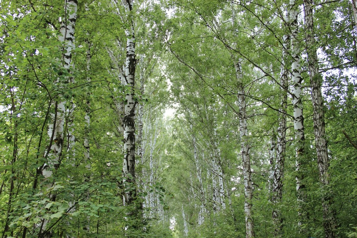 オラクル化粧品の成分は自社農園の植物エッセンス配合シラカバエキス